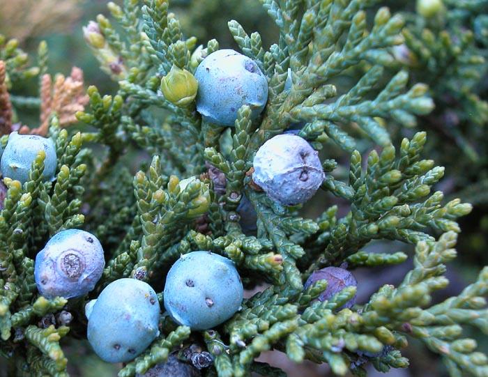 juniperussabina3.jpg